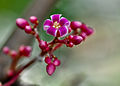 Carambola flower3.jpg