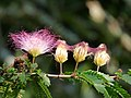 Carbonero rosáceo (Calliandra sp.) - Flickr - Alejandro Bayer (2).jpg