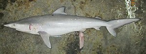 Copper shark - Image: Carcharhinus brachyurus phuket