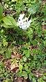 Cardamine bulbifera (Brassicaceae).jpg