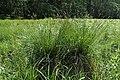 Carex paniculata kz07.jpg