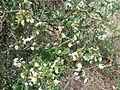 Carissa spinarum, b, Schanskop.jpg