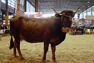 Aure et Saint-Girons Breed of cattle