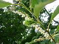 Castanea dentata flowers, Sault Ste Marie 1.JPG