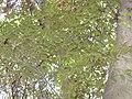 Castanopsis cuspidata2.jpg