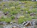 Castilleja sulphurea (8214461227).jpg