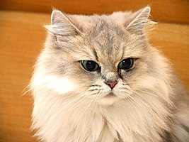 Cat Golden Chinchilla.jpg