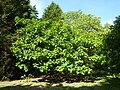 """Catalpa bignonioides """"Aurea"""" (Bignoniaceae) (tree).JPG"""