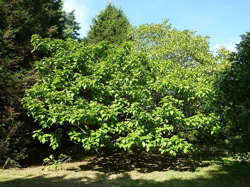file catalpa bignonioides aurea bignoniaceae tree jpg. Black Bedroom Furniture Sets. Home Design Ideas