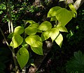 Catalpa bignonioides Aurea B.jpg