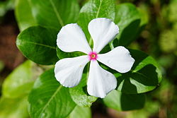 Catharanthus roseus 01450.JPG