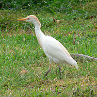Cattle Egret (Bubulcus ibis) -Florida Keys2.jpg