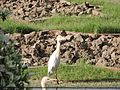 Cattle Egret at Charbagh Garden Agra.jpg