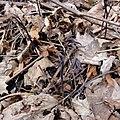 Caulophyllum giganteum SCA-01037.jpg