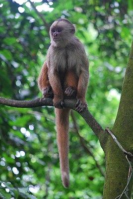 Peru capuchin monkey (Cebus cuscinus)