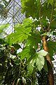 Cecropia-Jardin des plantes de Nantes (2).jpg