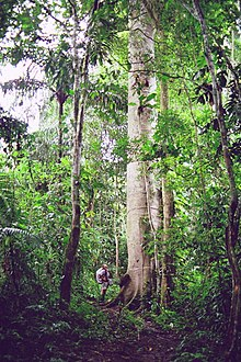 A Ceiba tree makes Darien Gap crosser Gustavo Ross look tiny in comparison. Ceibas were considered sacred trees by ancient Mayan cultures.
