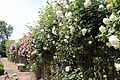 Cemetery white and pink rose trellis at Theydon Bois, Essex, England.JPG