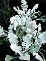 Centaurea ragusina.jpg