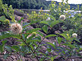 Cephalanthus occidentalis - Buttonbush 2.jpg