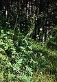 Cephalaria gigantea 3.jpg