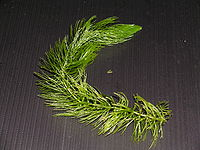 Ceratophyllum demersum var.demersum.