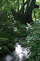 Cercidiphyllum japonicum05s3200.jpg