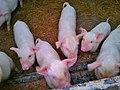 Cerdos en el campo - panoramio.jpg