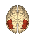 Cerebrum - angular gyrus - superior view2.png