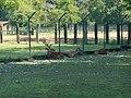 Cervi nobili del parco della preistoria 02.jpg