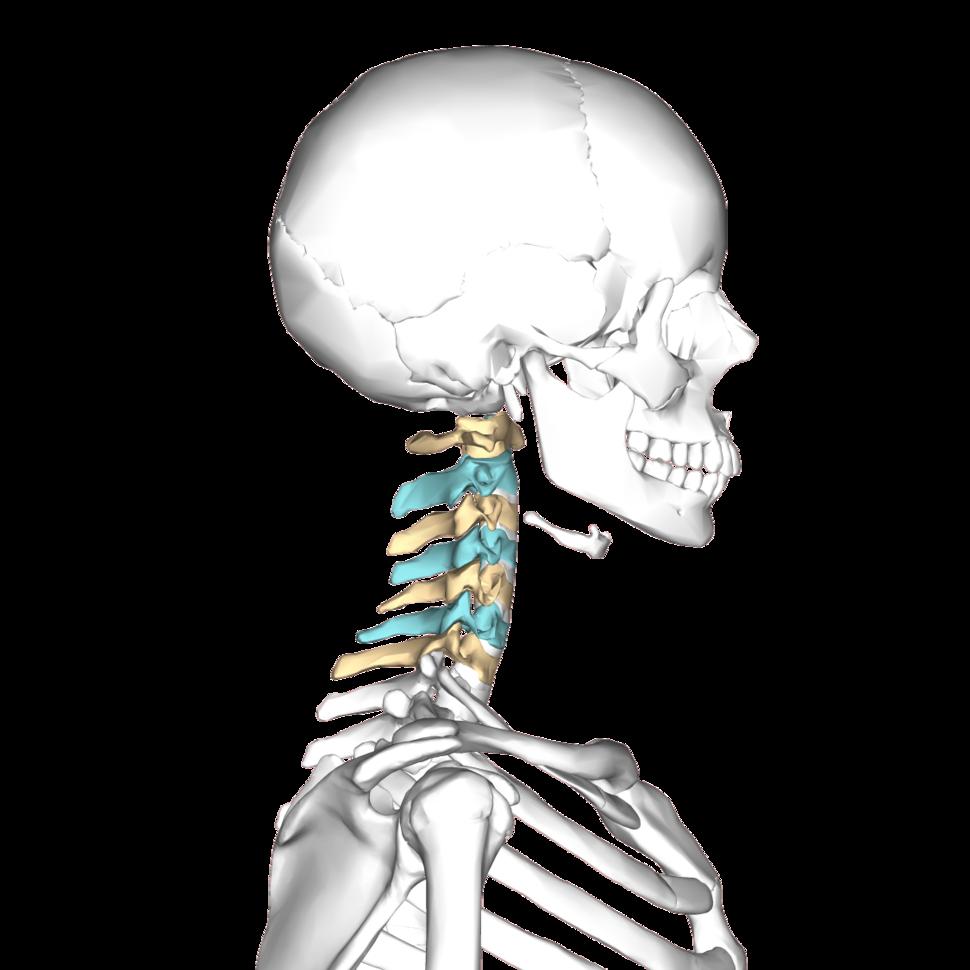 Cervical vertebrae lateral3