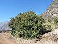 Chã das Caldeiras-Laurier rose (2).jpg