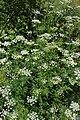 Chaerophyllum aureum kz01.jpg