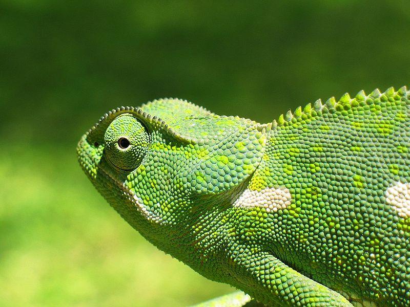 File:Chameleon 2006-01.jpg