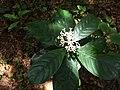 Chassalia curviflora, Curved Flower Woody Chassalia 2.jpg