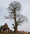 Chefferie Bafou arbre sacré.jpg