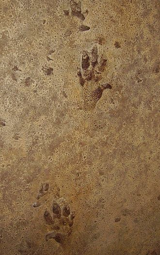 Trace fossil - Chirotherium footprints in a Triassic sandstone.