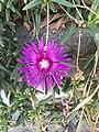 Chemin du Milieu (Beynost) - une fleur de delosperma.JPG