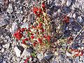 Chenopodium foliosum Habitus 2010-7-17 JardinBotanicoHoyadePedraza.jpg