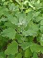 Chenopodium quinoa kz02.jpg