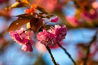 Cherry blossom Blossom of the cherry tree