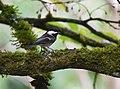 Chestnut-backed Chickadee (45615397002).jpg