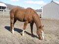 Chestnut Quarter Horse.png