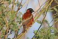 Chestnut weaver (Ploceus rubiginosus) male.jpg