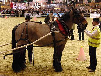 Auxois - An Auxois horse at the Salon International de l'Agriculture 2013 in Paris