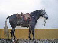 Cheval lusitanien1.jpg