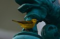 Chipe Amarillo, Yellow Warbler, Dendroica petechia (11916266606).jpg