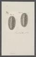 Chiton spec. - - Print - Iconographia Zoologica - Special Collections University of Amsterdam - UBAINV0274 081 06 0013.tif