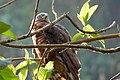 Chondroierax uncinatus (Caracolero selvático) - Flickr - Alejandro Bayer (1).jpg