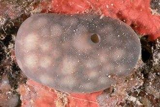 Demosponge - Chondrosia reniformis (Chondrosiida)